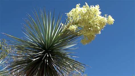 botanical cactus gardens las vegas blooming yucca ethel m botanical cactus gardens las
