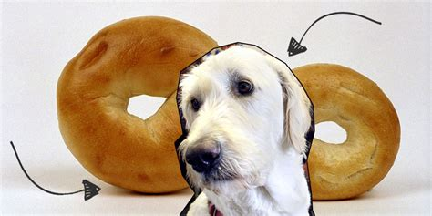 puppy or bagel quiz is this a puppy or a bagel of fried chicken