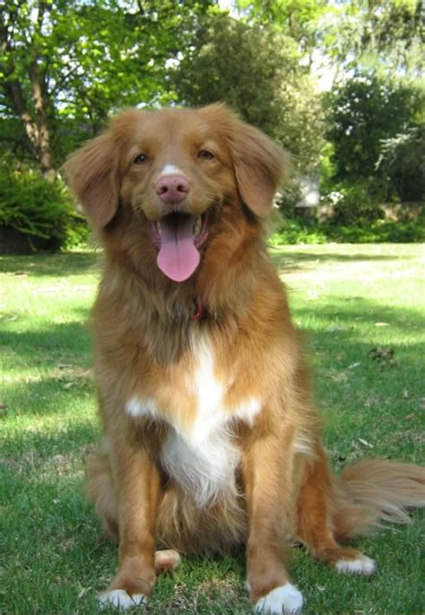 medium sized golden retriever scotia duck tolling retriever