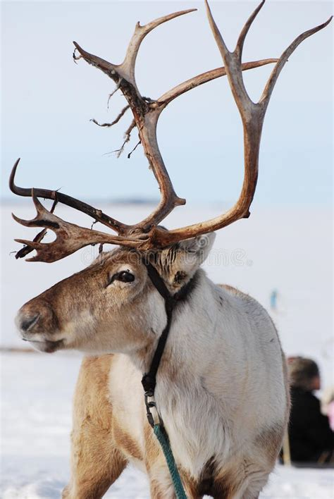 reindeer section reindeer in finland stock photo image of oulu finland