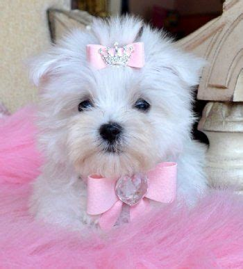 17 best images about gregory s blondie other yorkie s on 44 best gregory s blondie other yorkie s images on