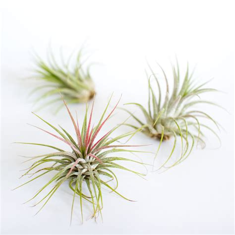 the air plant trio juicykits com