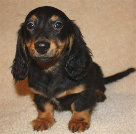 Do Miniature Dachshunds Shed by Weatherlys Miniature Wirehair Dachshunds Breeds Picture