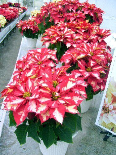 lisas holiday red punch pictures of the paul ecke poinsettia ranch