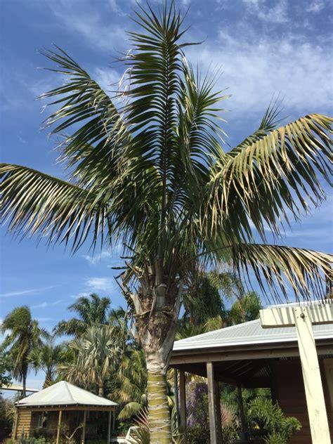 kentia palm palms galore perth