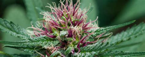 cannabis flower cannbis marijuana pot weed flower bud education 101