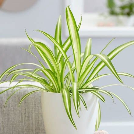 buy indoor plants  waitrose garden