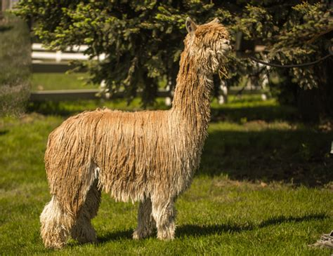 nebraska alpaca company is an alpaca farm located in