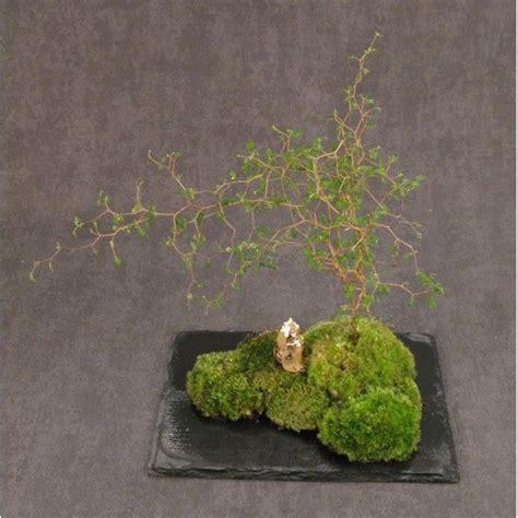 Akar Moss Bonsai By Aqua City 263 best images about mini gardens kokedama kusamono on