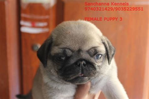 pug puppies price in bangalore pug puppies for sale sanchanna 1 15760 dogs for sale price of puppies dogspot in