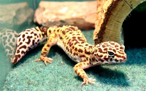 do leopard geckos need a heat l best cheap vivariums for leopard geckos vivarium world