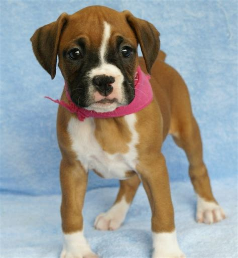 puppy boxers for sale boxer puppies for sale auto design tech