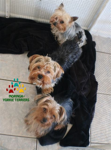 hypoglycemia in yorkie puppies about yorkies yorkie puppies for sale teacup dogs moringa for dogs colorful