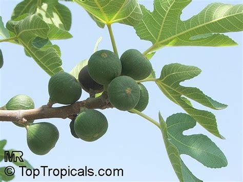 ficus carica fig tree brevo toptropicals com