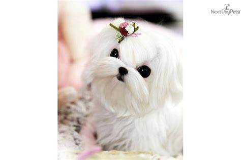 posh puppies meet agi reserved a maltese puppy for sale for 7 000 poshfairytail posh puppy