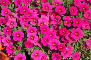 million bells brilliant pink calibrachoa calibrachoa million bells brilliant pink in lincoln