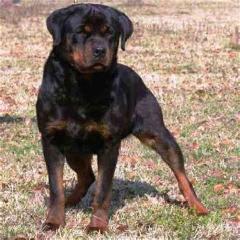 rottweiler puppies for sale nc akc rottweiler puppies for sale in nc dogs our friends photo