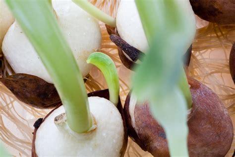 tulpen im glas tulpen im glas 187 ziehen und richtig pflegen