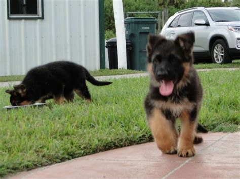 potty german shepherd puppy potty a german shepherd puppy 1001doggy