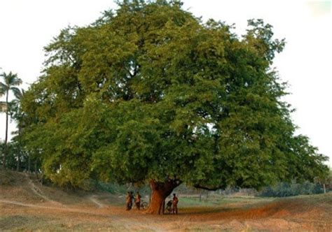Tamarind Tree Pictures