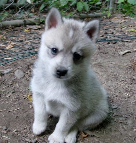 Alaskan Klee Kia Alaskan Klee Puppies Rescue Pictures Information