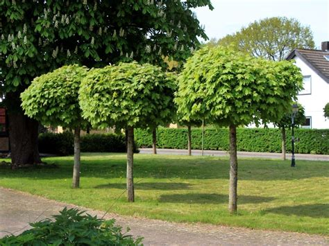 da giardino alberi da giardino il verde quali alberi da giardino