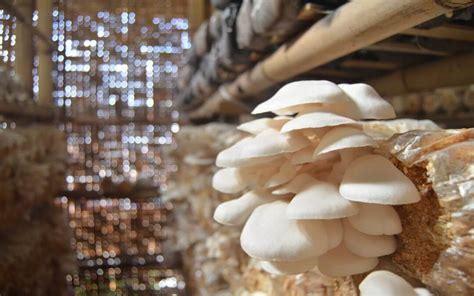 Harga Bibit Jamur Tiram 2018 peluang usaha rumahan budidaya jamur tiram