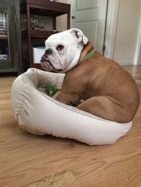 funny dog beds funny dogs in pet beds bing images