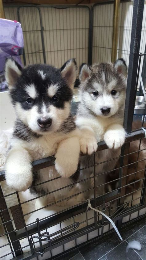 alaskan malamute puppies rescue kc alaskan malamute puppies for sale pentraeth isle of anglesey pets4homes