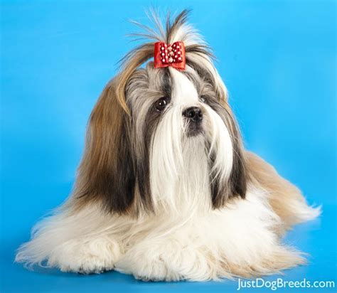 shih tzu and allergy sufferers big hypoallergenic dogs breeds picture