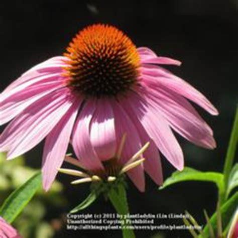 the top 25 coneflowers garden org