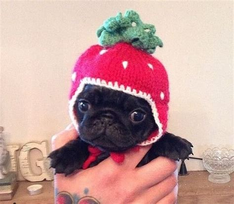 really pug puppy delightful finds and me