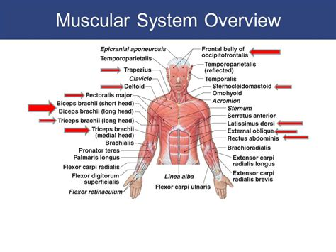 Section 36 2 The Muscular System by The Muscular System Chapter Ppt Chapter 11 The Muscular System Ppt