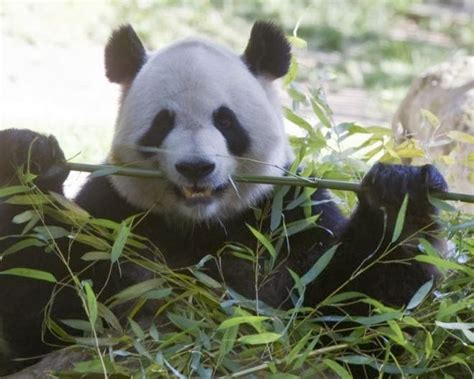 Boneka Panda Panda Hitam Putih Gigit Bambu my ilustration daun bambu favorit