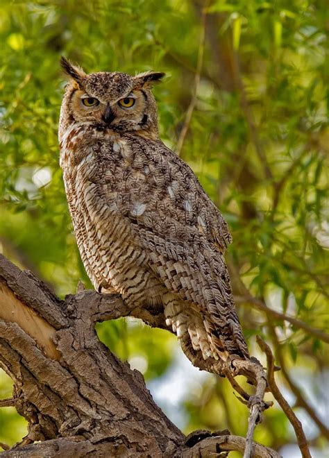 great horned owl colorado springs beauty of birds