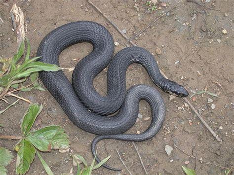 the mcwetlog any snake so as it s black mcwetboy