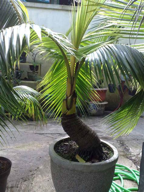 Bibit Kelapa Puyuh Hibrida bonsai kelapa mini bonsai kelapa dijual