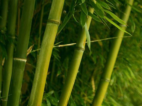 wallpaper daun bambu bambu wallpaper tanaman alam alam wallpaper download gratis