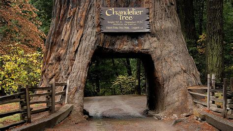 Chandelier Drive Through Tree Seven Amazing Trees Freeflow