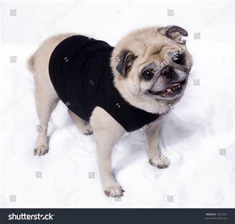 wearing pug shirt fawn pug wearing a fshionable black t shirt stock photo 5247223