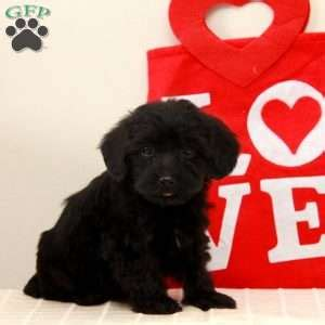 yorkie poo puppies for sale in baltimore md yorkie poo puppies for sale in de md ny nj philly dc and baltimore