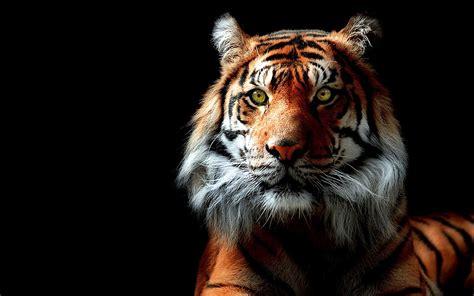 wallpaper black tiger tiger black free wallpaper download desktop backgrounds