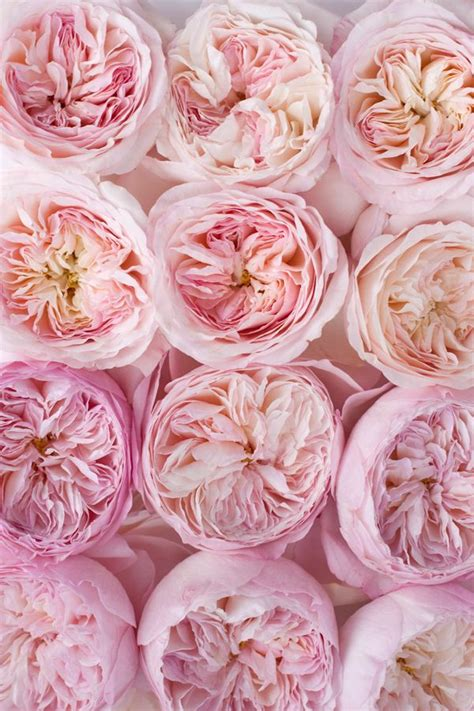 25 best ideas about david austin roses on pinterest david austin english roses and david rose