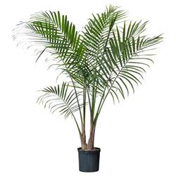 Indoor Palm by Indoor Tall Palm Trees Some Trees Have Indoor Outdoor