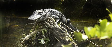 airboat rides everglades national park everglades national park everglades tours airboat tours