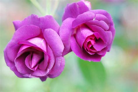 imagenes de rosas unicas en el mundo rosas conoce su origen significado tipos y mucho m 225 s