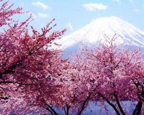 pink cherry blossom tree wallpaper wallpaper