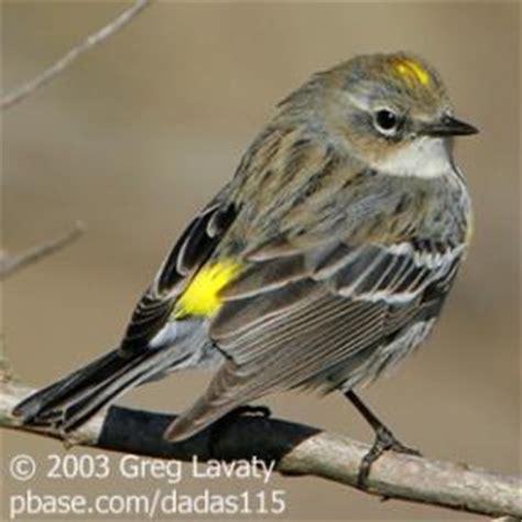 audubon s yellow rumped warbler birdnote