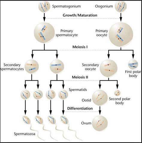 compare oogenesis  spermatogenesis physiology