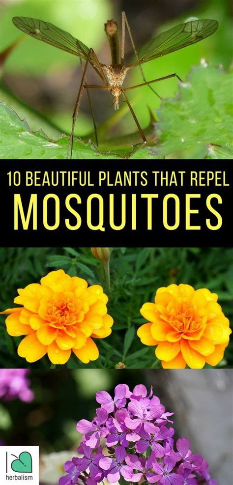 flowers that keep mosquitoes away 10 beautiful plants that repel mosquitoes beautiful